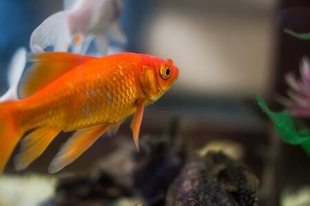 goudvis voeding