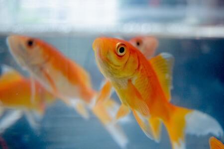 goudvis voer
