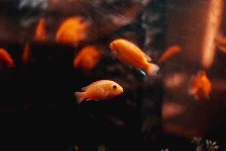 voedsel goudvis
