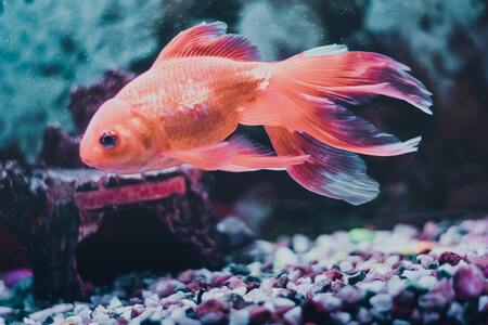 voer goudvis