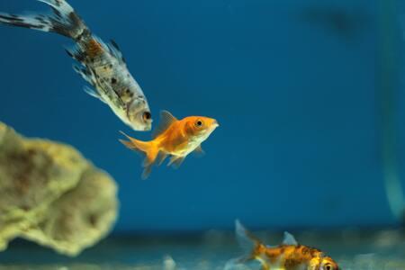 kweekbakje aquarium